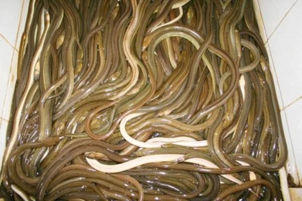 GỏGỏi cá nhệch: Đặc sản vùng đất Nga Sơn