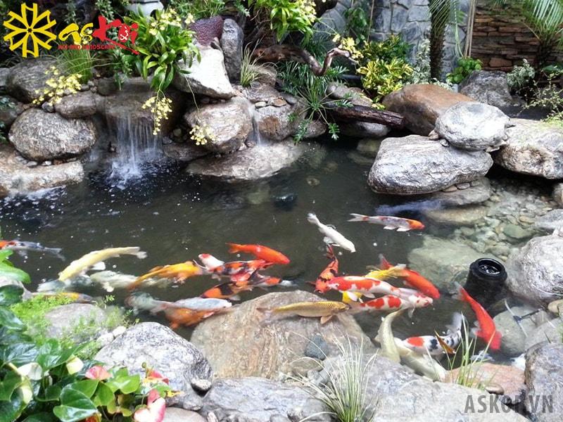 Hồ Koi bị bọt sẽ ảnh hưởng đến sức khỏe của cá