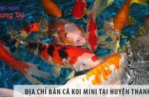 Địa chỉ bán cá koi mini đẹp, giá rẻ tại huyện Thanh Trì
